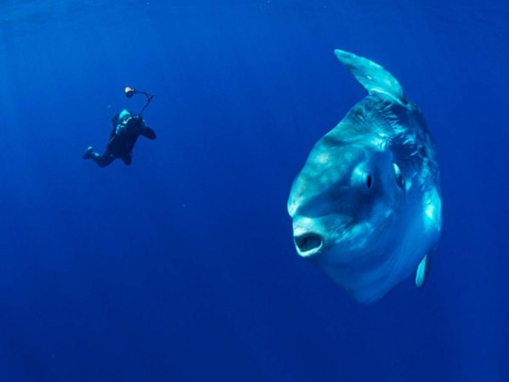 One of the diving world's favourite animals to have the opportunity to swim with. Mola Molas are adventure diving to a tee.